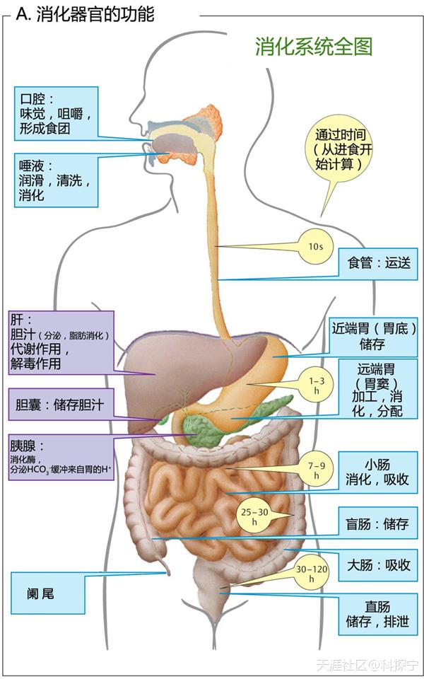 食物通过胃肠道各部位的大致时间及某些事情的个人推测