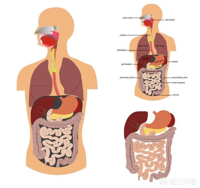 什么东西有助于肠道消化?